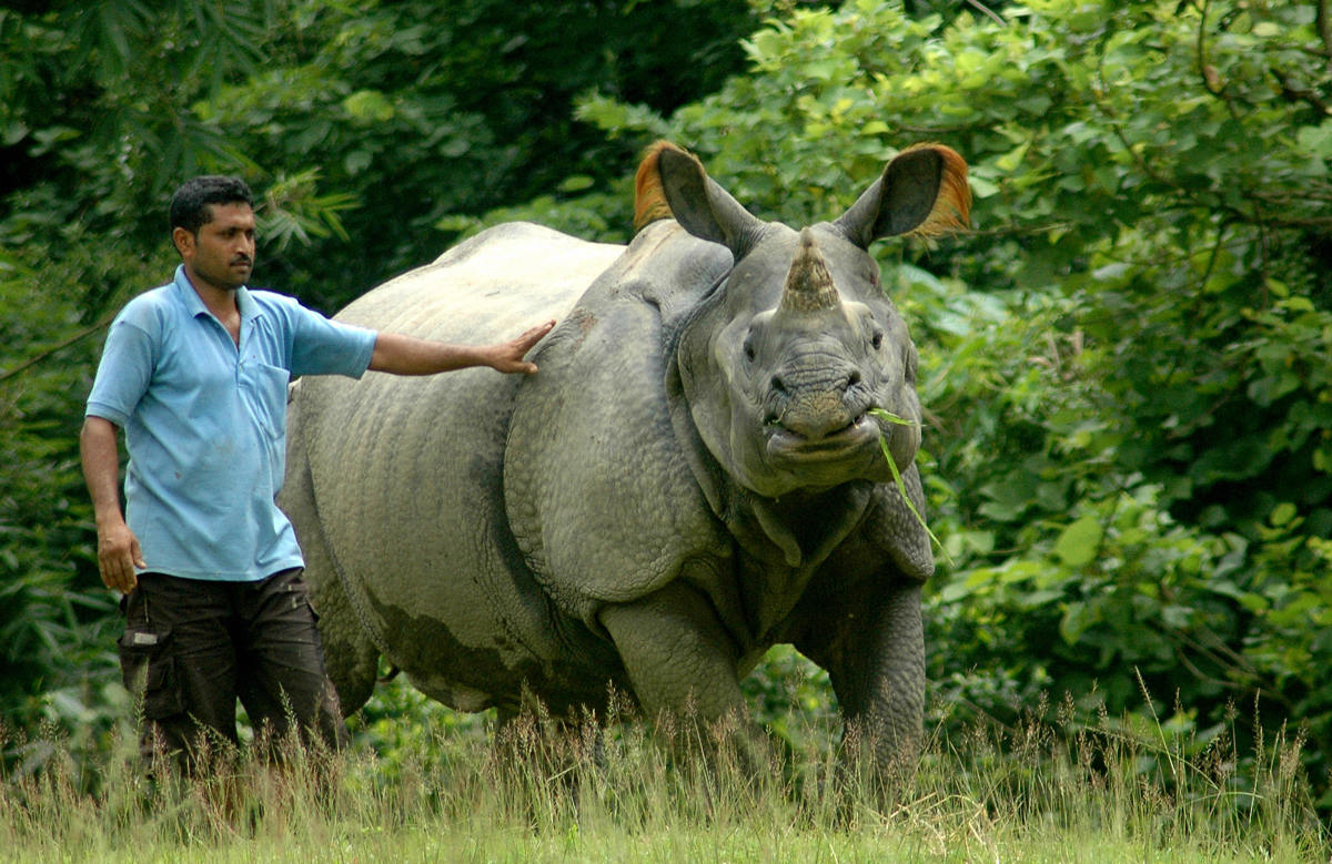 An Indian one-horned rhinoceros chews grass as a zookeeper stands alongside at the Assam State Zoo in Guwahati, the capital city of the northeastern state of Assam.