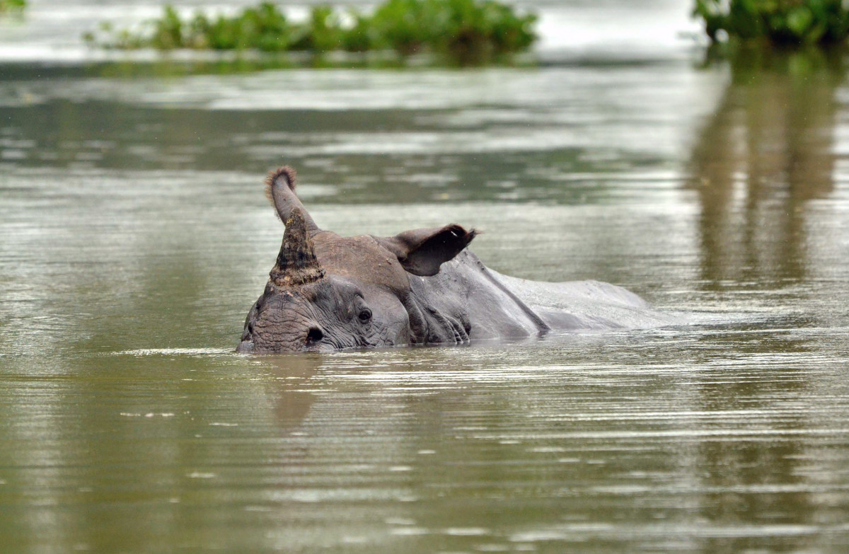 A one-horned rhino swims through flood waters in Kaziranga National Park, about 250 kilometers east of Guwahati.