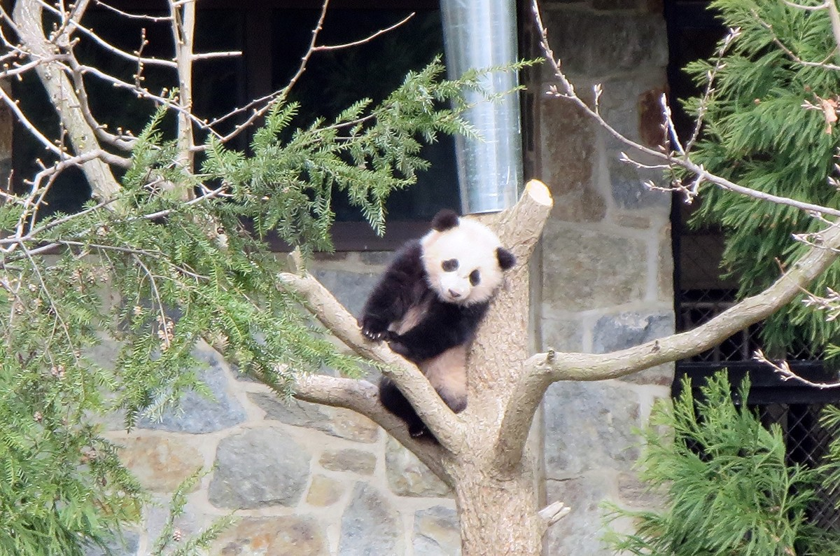 Bao Bao the panda in 2014.