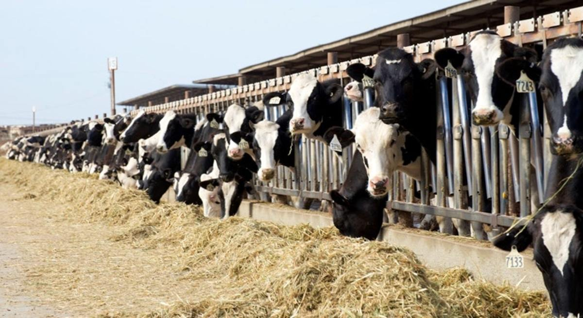 One of several hundred dairy farms in Tulare County, California, the top milk-producing county in the country. Animal manure spread on cropland is a contributor to nitrate pollution in the groundwater in parts of the San Joaquin Valley region.
