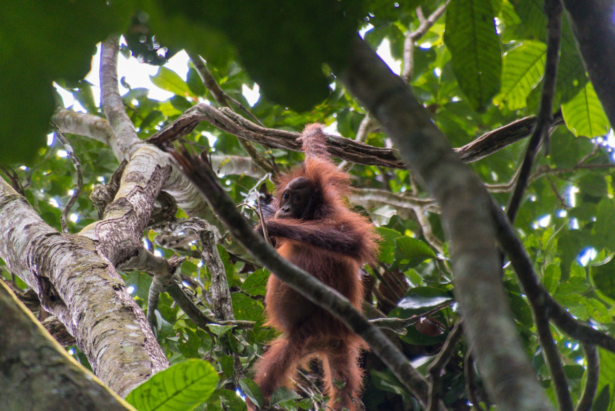 The critically endangered Bornean orangutan, shown here in Malaysia, is also struggling to hold on as much of its habitat has been taken over for human agriculture.