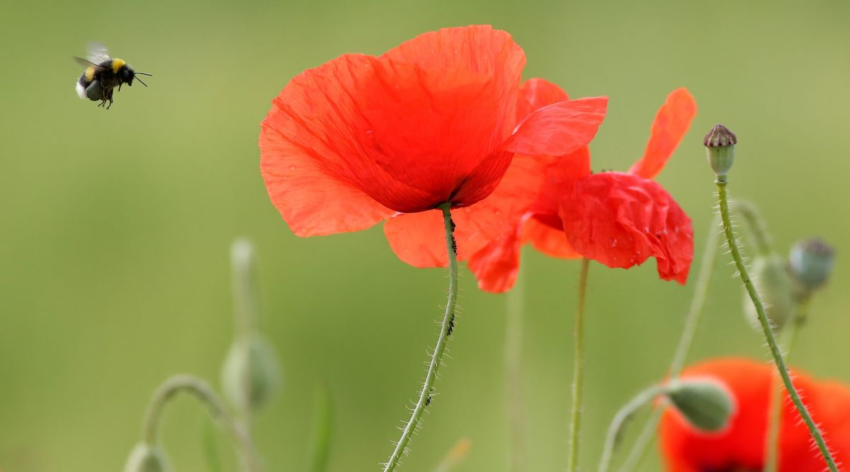 A bumblebee hovers past a red poppy flower on June 1st, 2017.