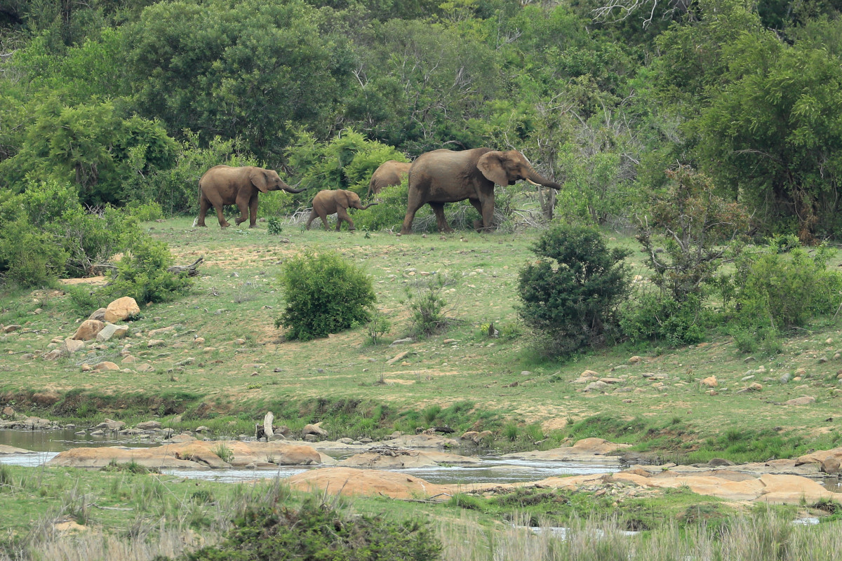 A family of elephants walk through Kruger National Park.
