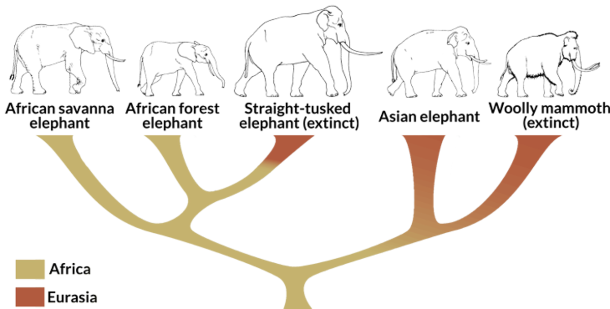 A revised tree showing phylogenetic relationships among living and extinct members of the elephant family, color-coded by their presumed geographical range.