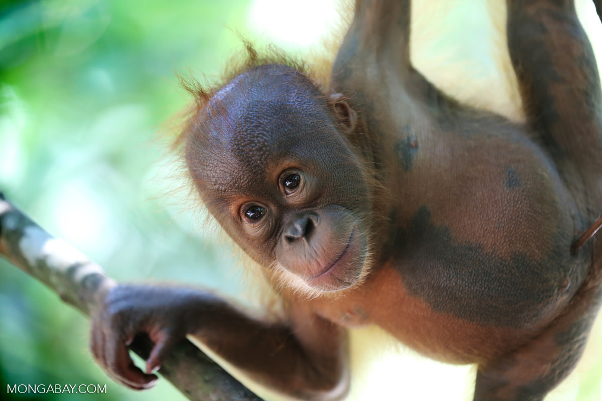 A baby orangutan in North Sumatra, Indonesia. Along with habitat loss due to mining, orangutans in both Sumatra and Borneo are threatened by fires and deforestation for oil palm and pulp plantations.