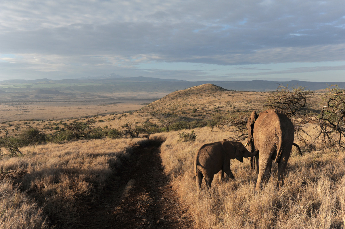 A female elephant feeds her cub in the early morning hours in Kenya's Lewa Wildlife Conservancy.