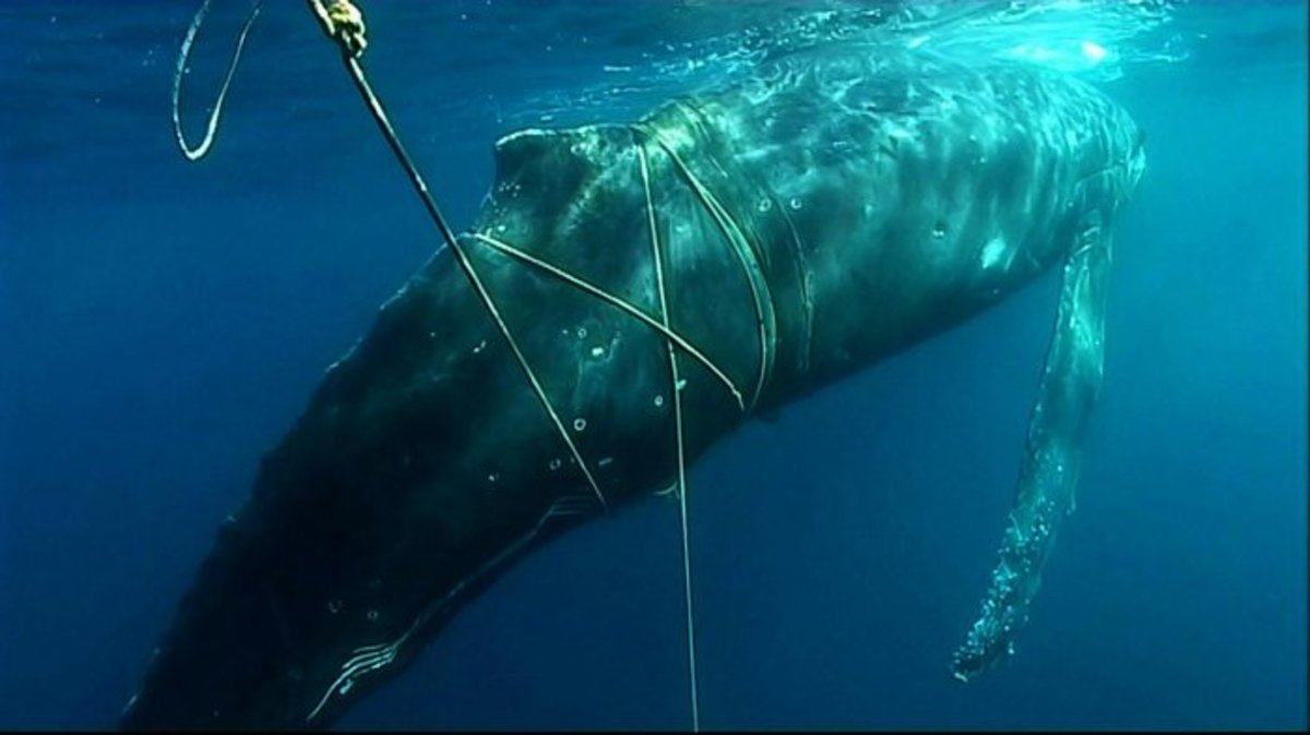 A whale is entangled in fishing gear.