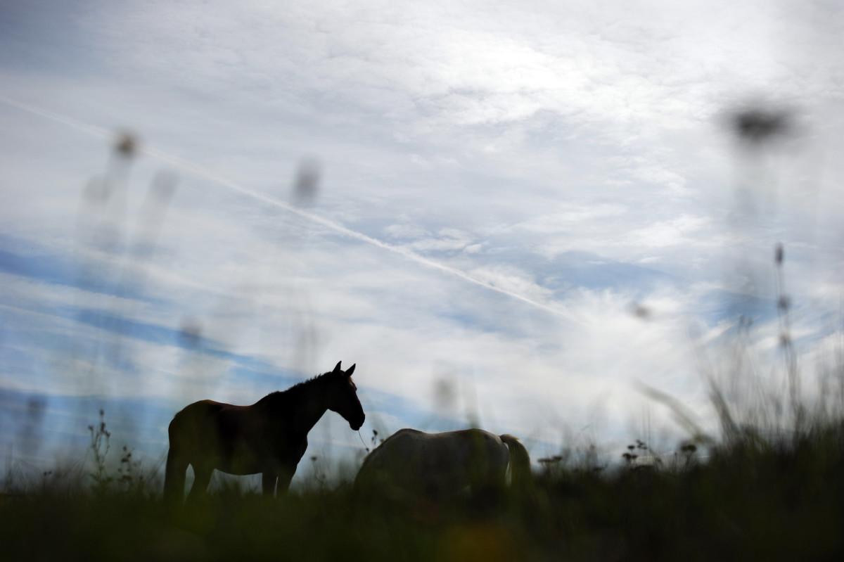 A horse grazes in a field, in Longvilliers, France.