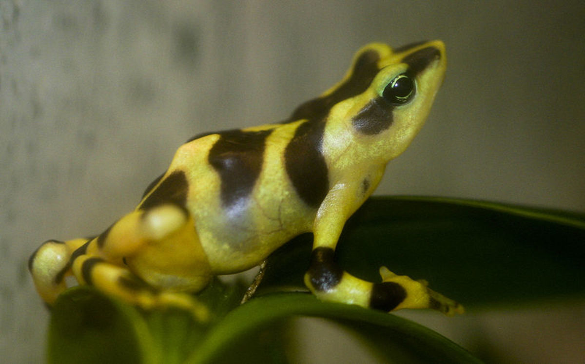 Atelopus varius a species of frog in Panama.