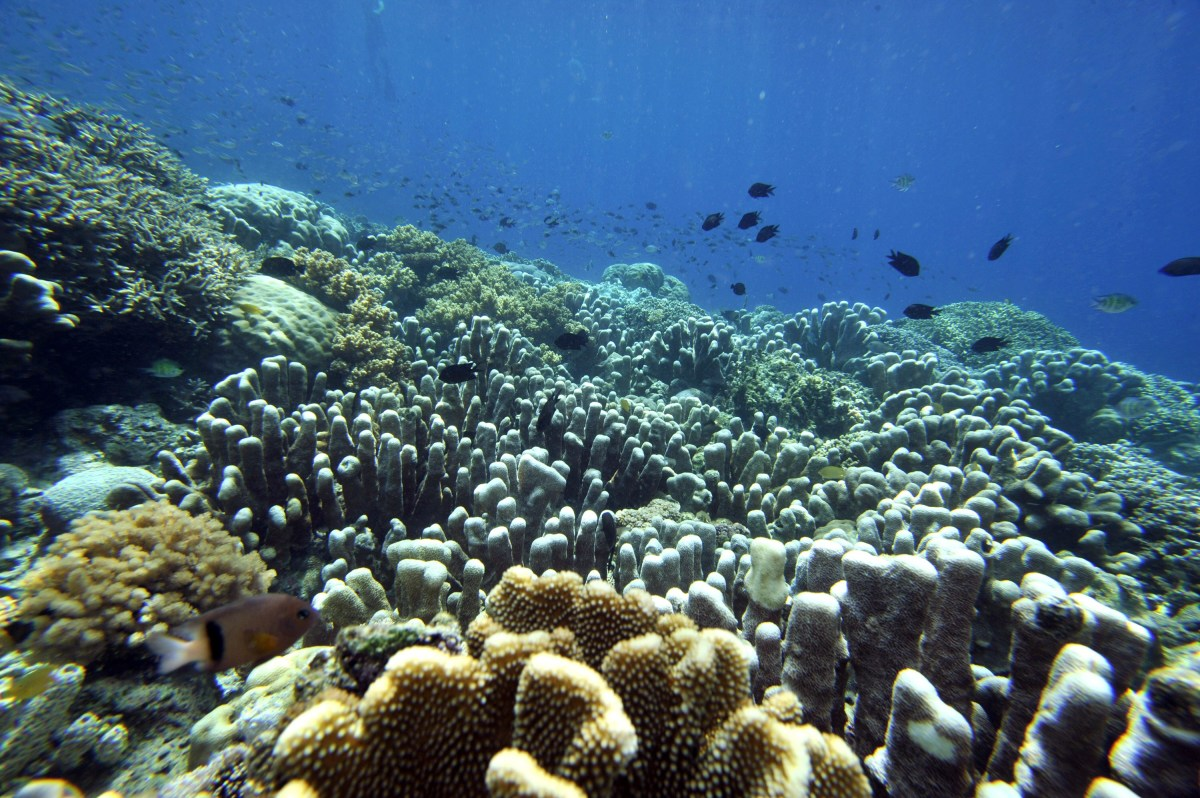 how coral bleaching events affect ecological diversity pacific