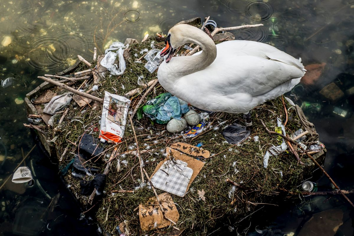 A swan sits in its nest in a lake near Queen Louise's Bridge in central Copenhagen, Denmark, on April 17th, 2018. The swan's nest is partly made out of trash from the lake and contains several eggs.