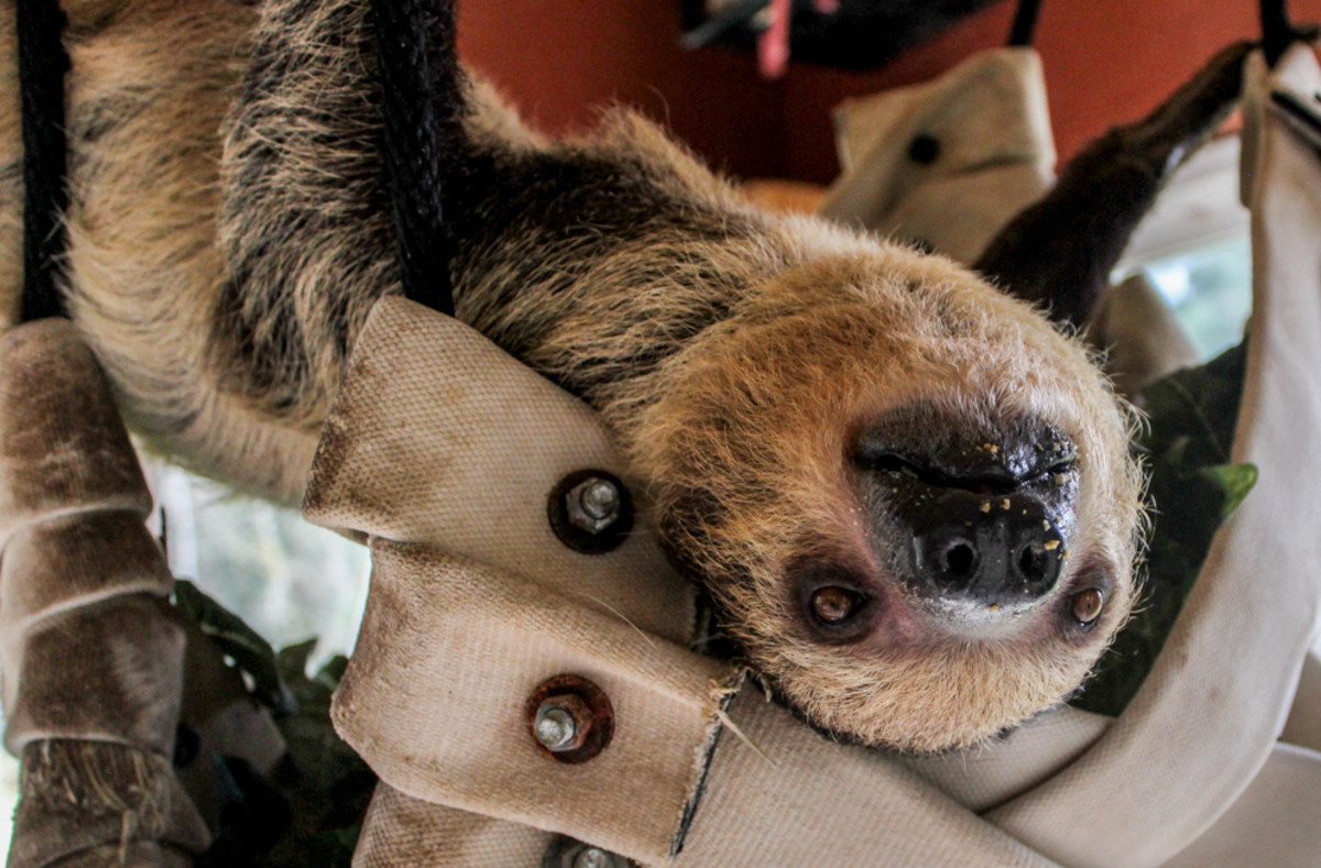 A sloth at the Sloth Center in Rainier, Oregon.