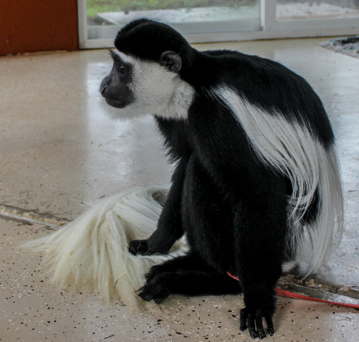 A black-and-white colobus monkey.