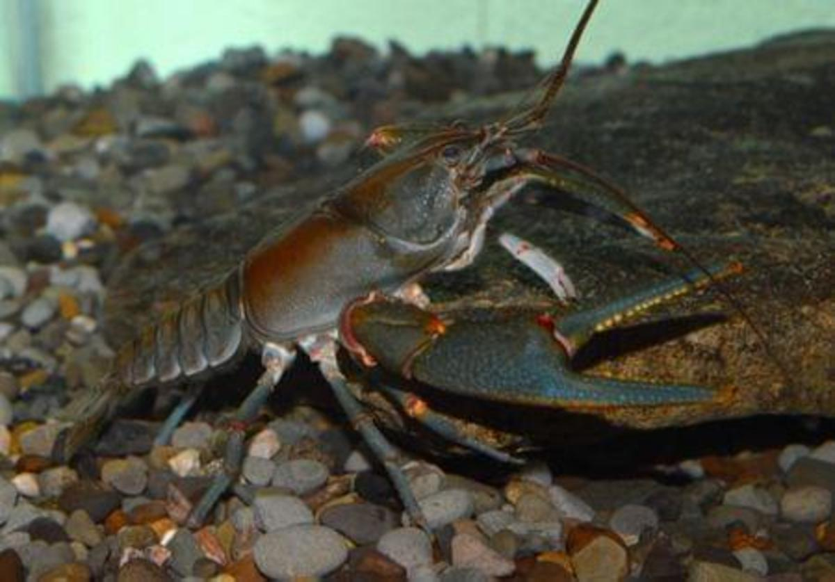 Big Sandy crayfish.