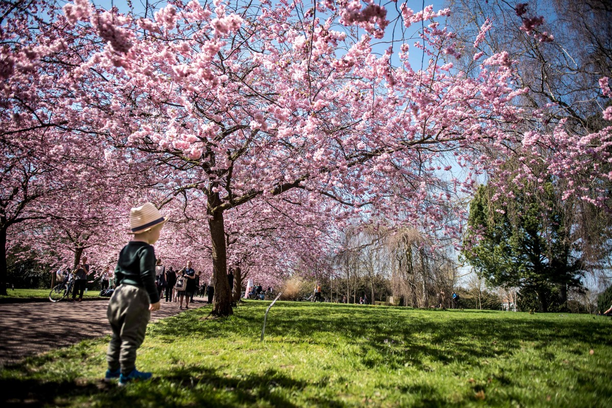 Japanese cherry trees stand in full bloom as people young and old visit the Bispebjerg Cemetery in Copenhagen, Denmark, on April 20th, 2018.