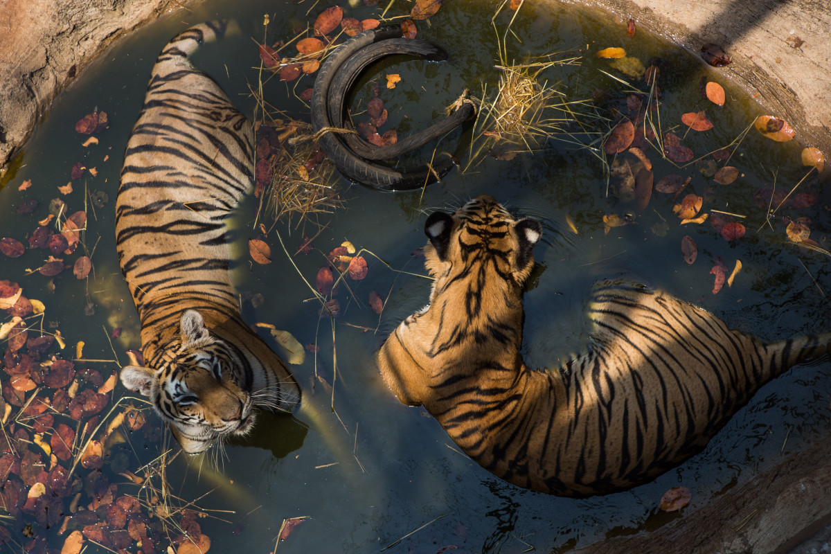 Kanchanaburi, Thailand: Two tigers cool off at Wat Pha Luang Ta Bua Yannasampanno, a Buddhist temple that once doubled as a wildlife refuge. Thai authorities later removed the tigers after allegations of wildlife trafficking.