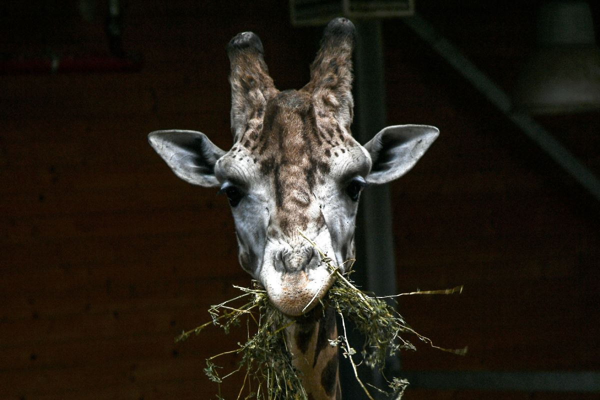 A giraffe eats on May 3rd, 2018, at the Zoom Torino zoo in Cumiana, Italy, near Turin.