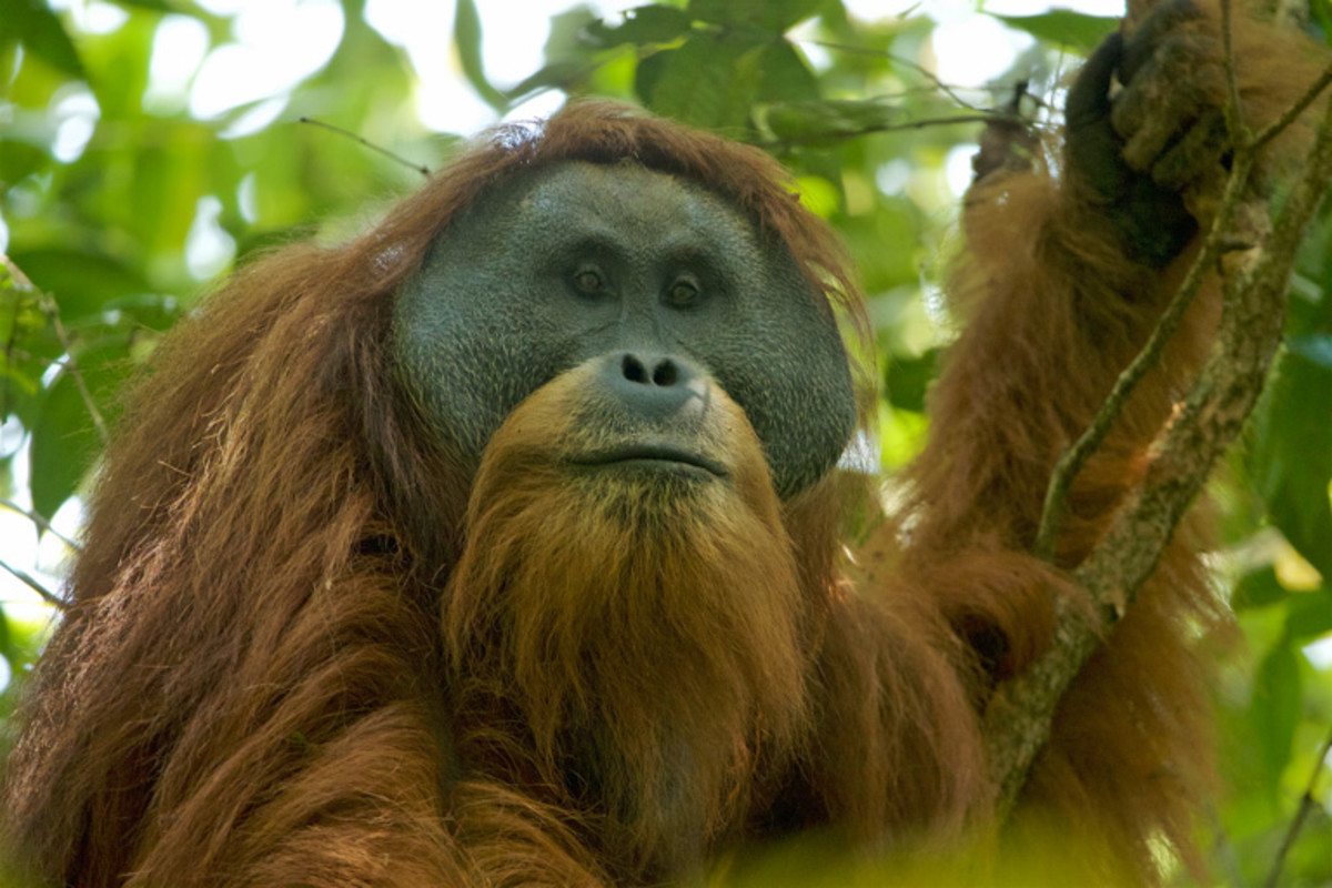 A male Tapanuli orangutan in the Batang Toru forest.