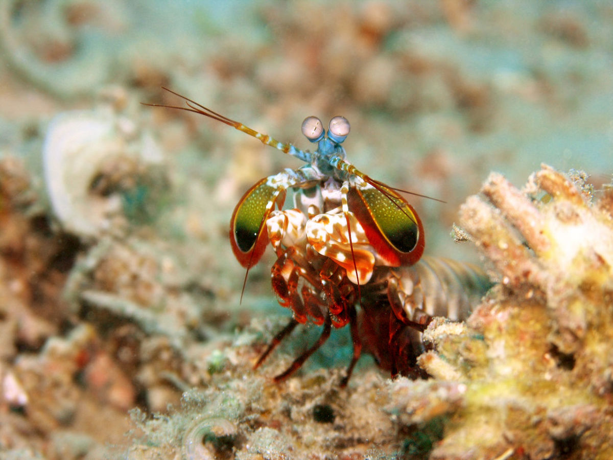 A peacock mantis shrimp.