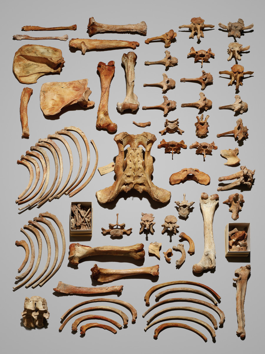 Monarch's bones, Museum of Vertebrate Zoology at the University of California–Berkeley.