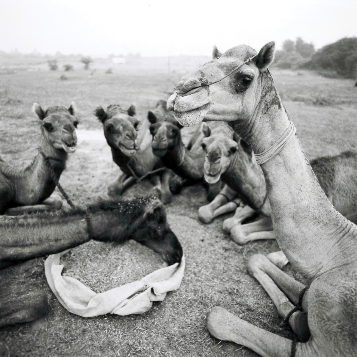 Camels, once bred and traded as a means of transportation in India, are being replaced by affordable cars and trucks.
