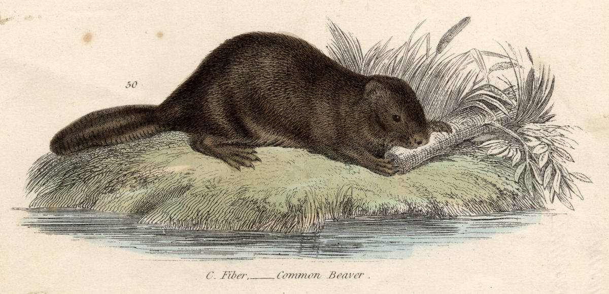 Illustration of a beaver, c. 1800.