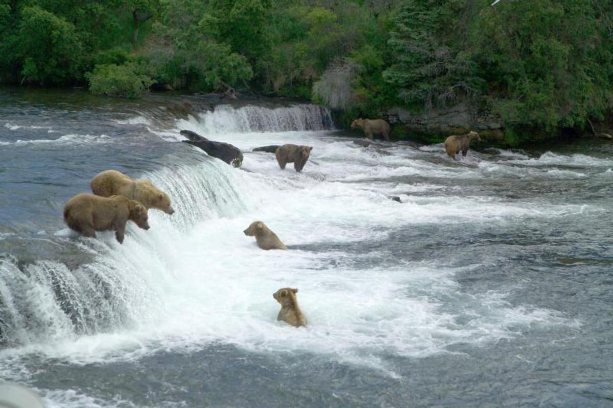 Bears gather to fish for salmon at Brooks Falls, in Katmai National Park and Preserve, in Alaska.