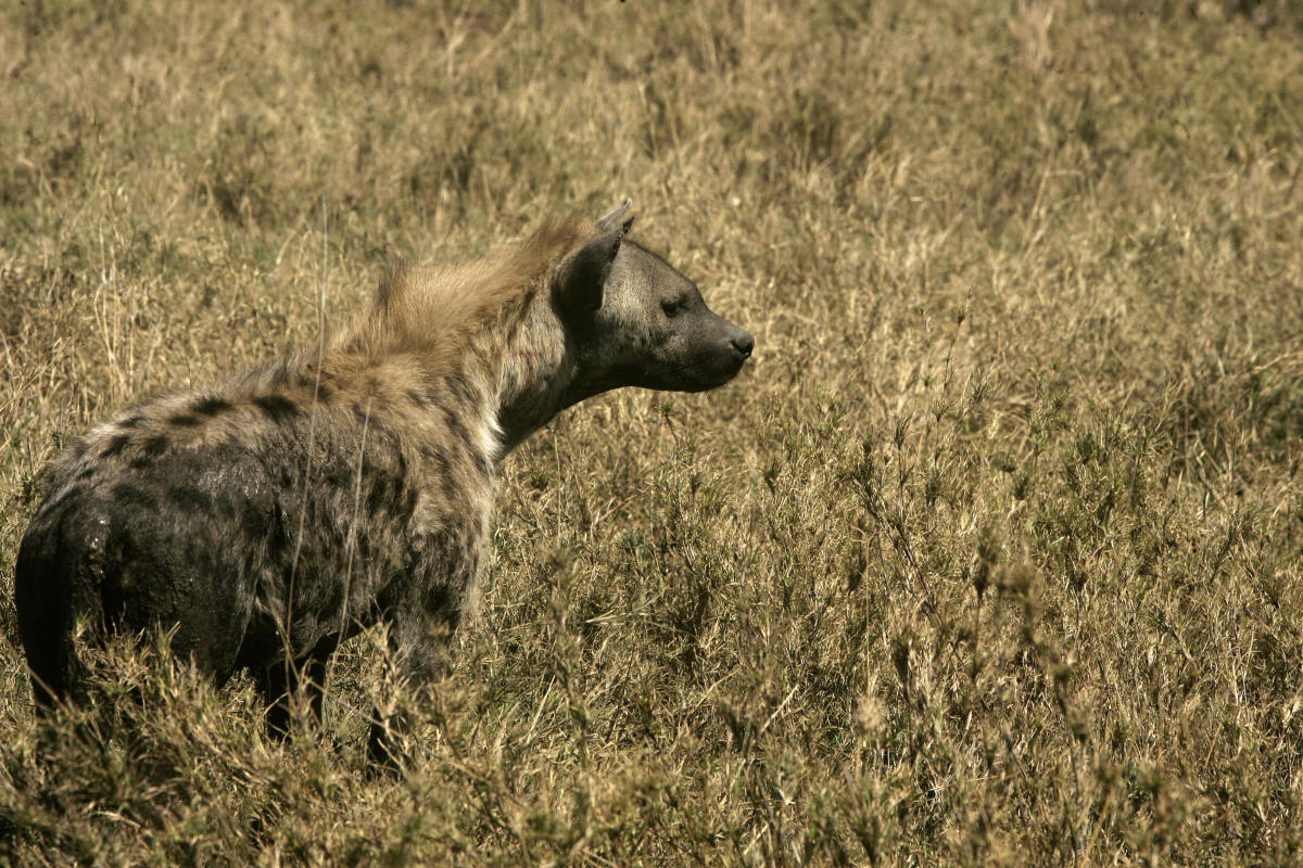 A hyena at Serengeti National Park in northern Tanzania on August 24th, 2007.
