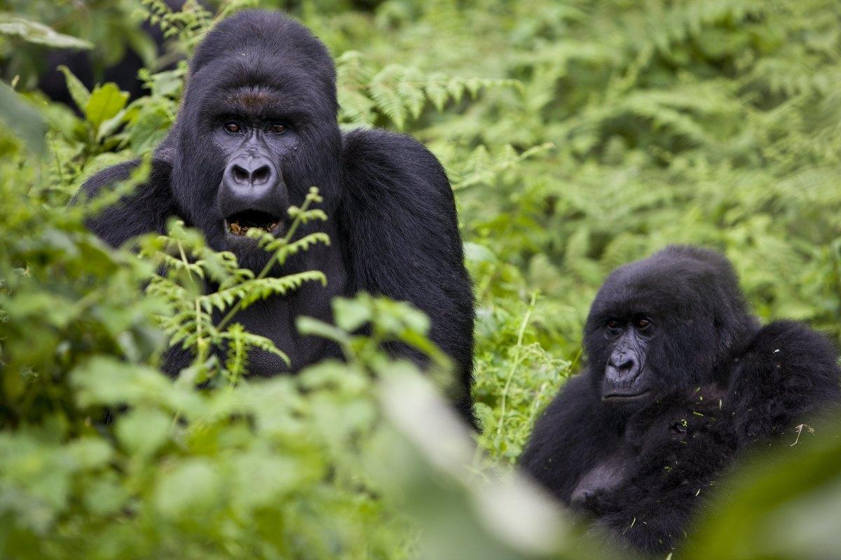 Mountain gorillas.