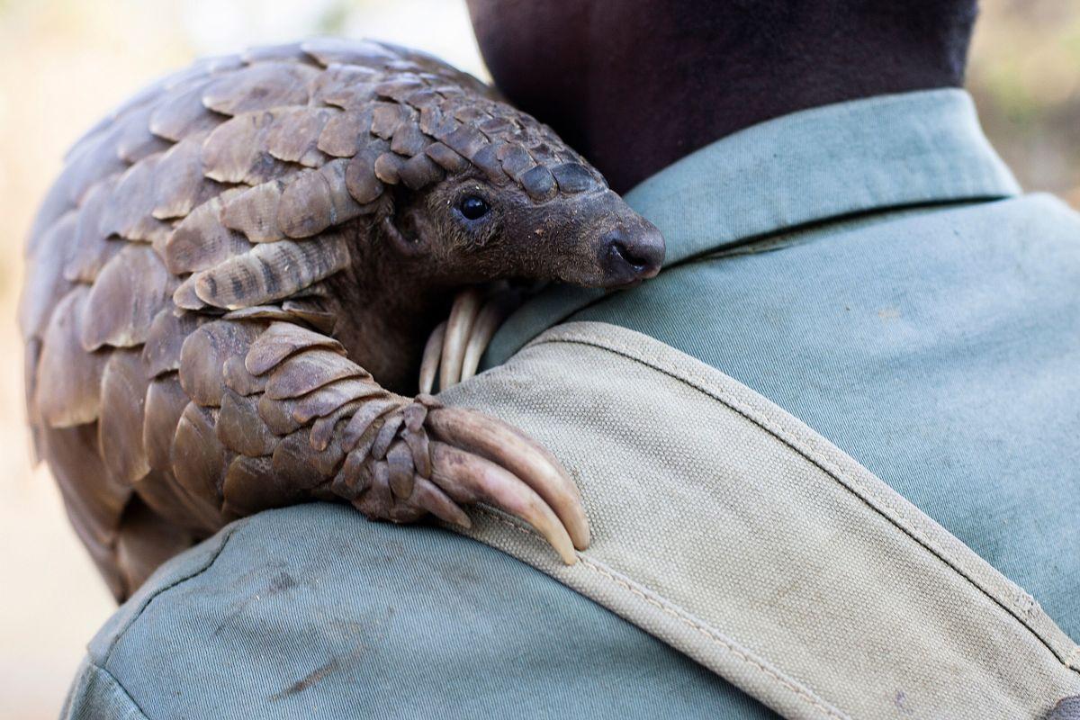 Zimbabwe game reserve guide Matius Mhambe holds Marimba, a female pangolin.