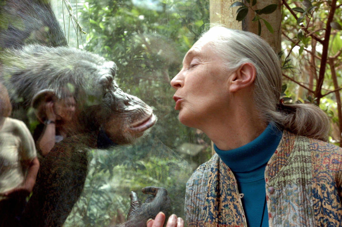 Jane Goodall communicates with Nana the chimpanzee on June 6th, 2004, at Magdeburg Zoo in Magdeburg, Germany.