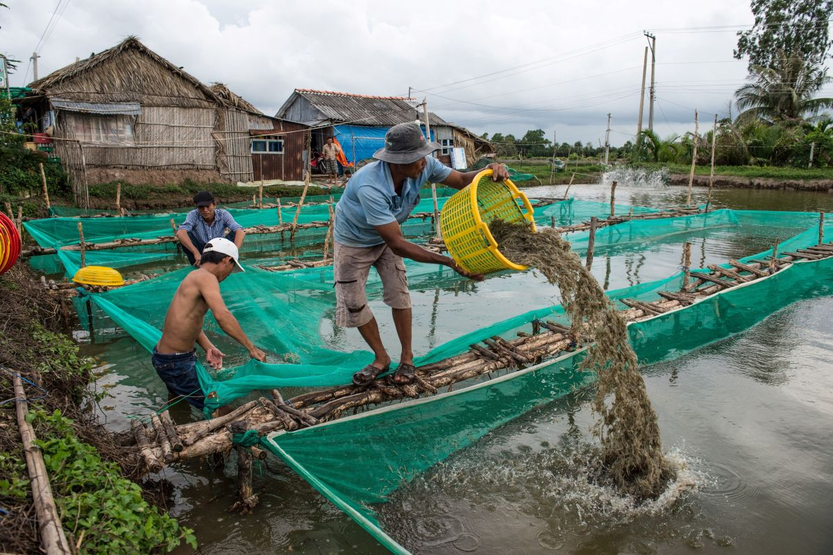 A shrimp farmer uses a plastic basket to move shrimp from one holding pen to another in a pond in the My Xuyen district in southern Vietnam.