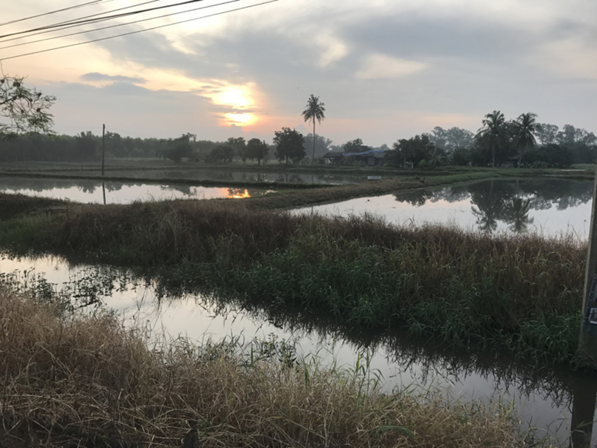 A farm in Surin, Thailand, that only plants rice in its many fields.