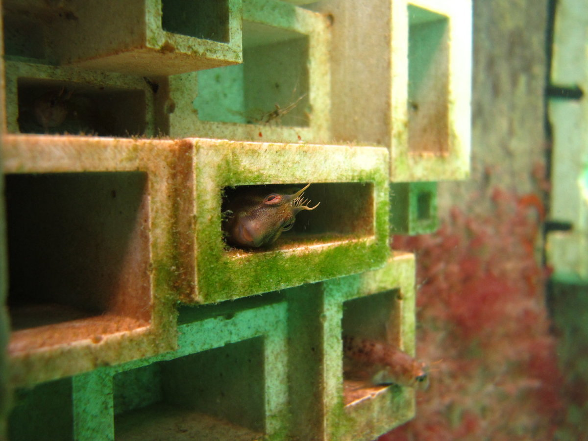 A Tasmanian blennie takes shelter in one of Reef Design Labs' 3-D-printed habitat panels.
