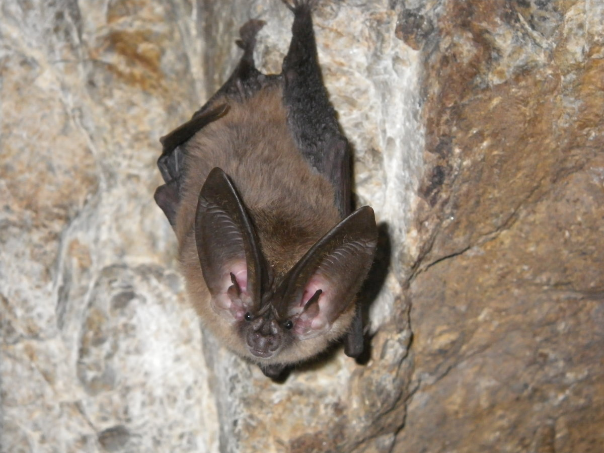 A Townsend's big-eared bat.