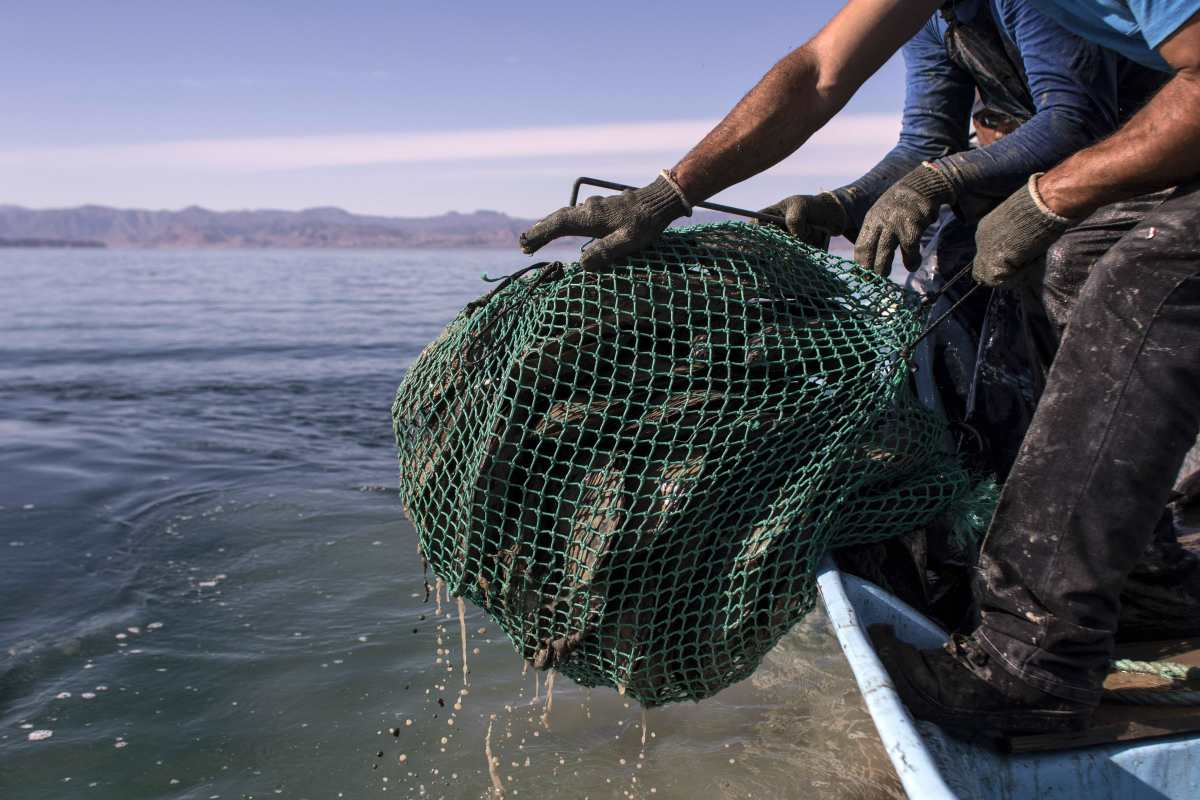 Fishermen pull up a bag of scallops.