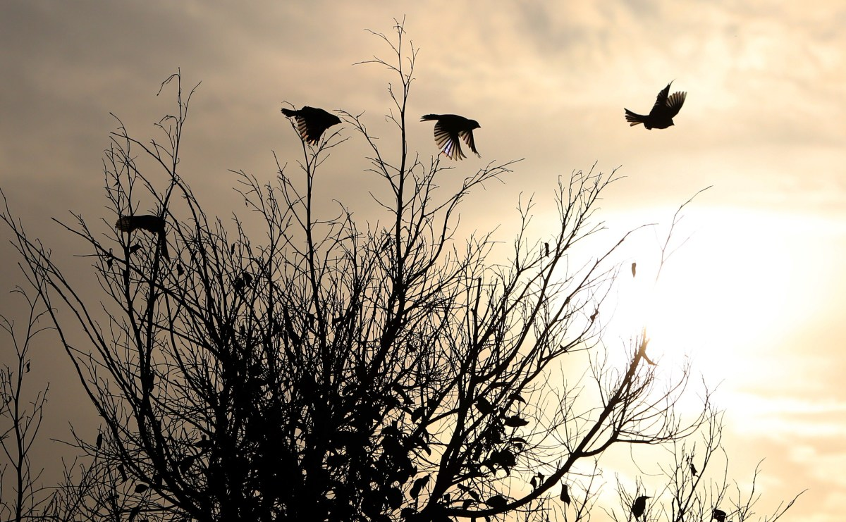 A flock of birds flies over a tree near the West Bank city of Nablus.