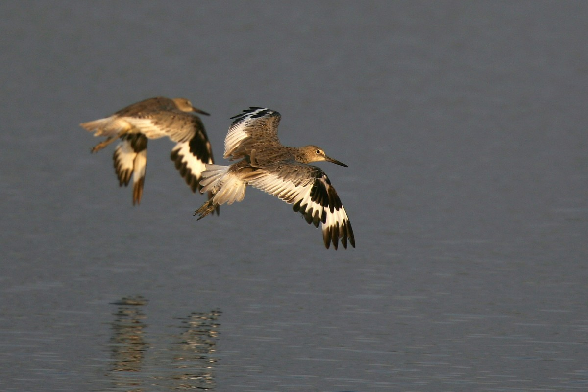 Willets fly over the Los Cerritos Wetlands.