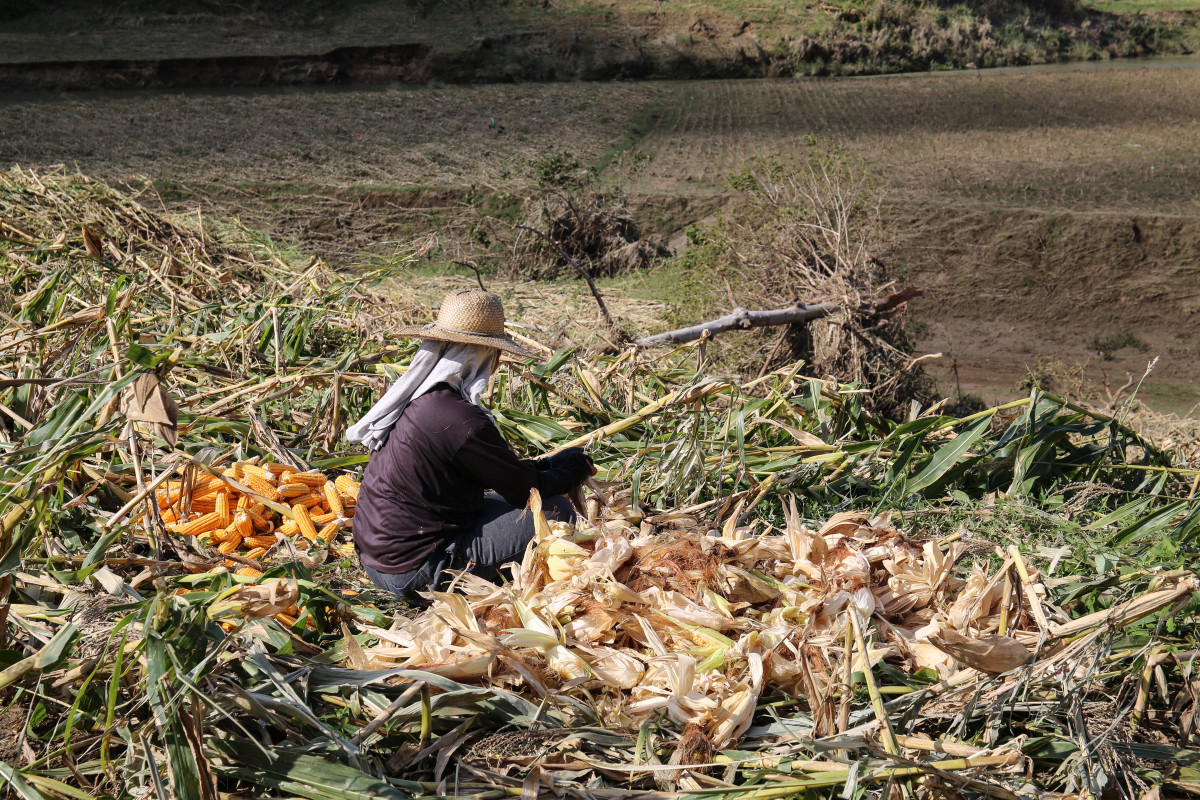 A farmer tries to save the corn left standing after Typhoon Mangkhut ravaged her fields.