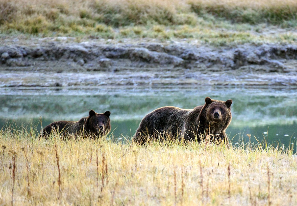 A grizzly bear mother and her cub walk near Pelican Creek in Yellowstone National Park in Wyoming.