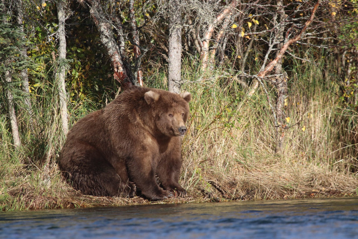 Bear 409, known as Beadnose, was crowned Fattest Bear on Tuesday after his impressive transformation went viral.