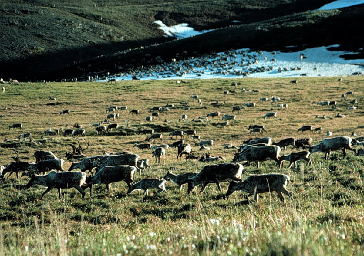 Caribou graze in the Arctic National Wildlife Refuge in Alaska, managed by the U.S. Fish and Wildlife Service.