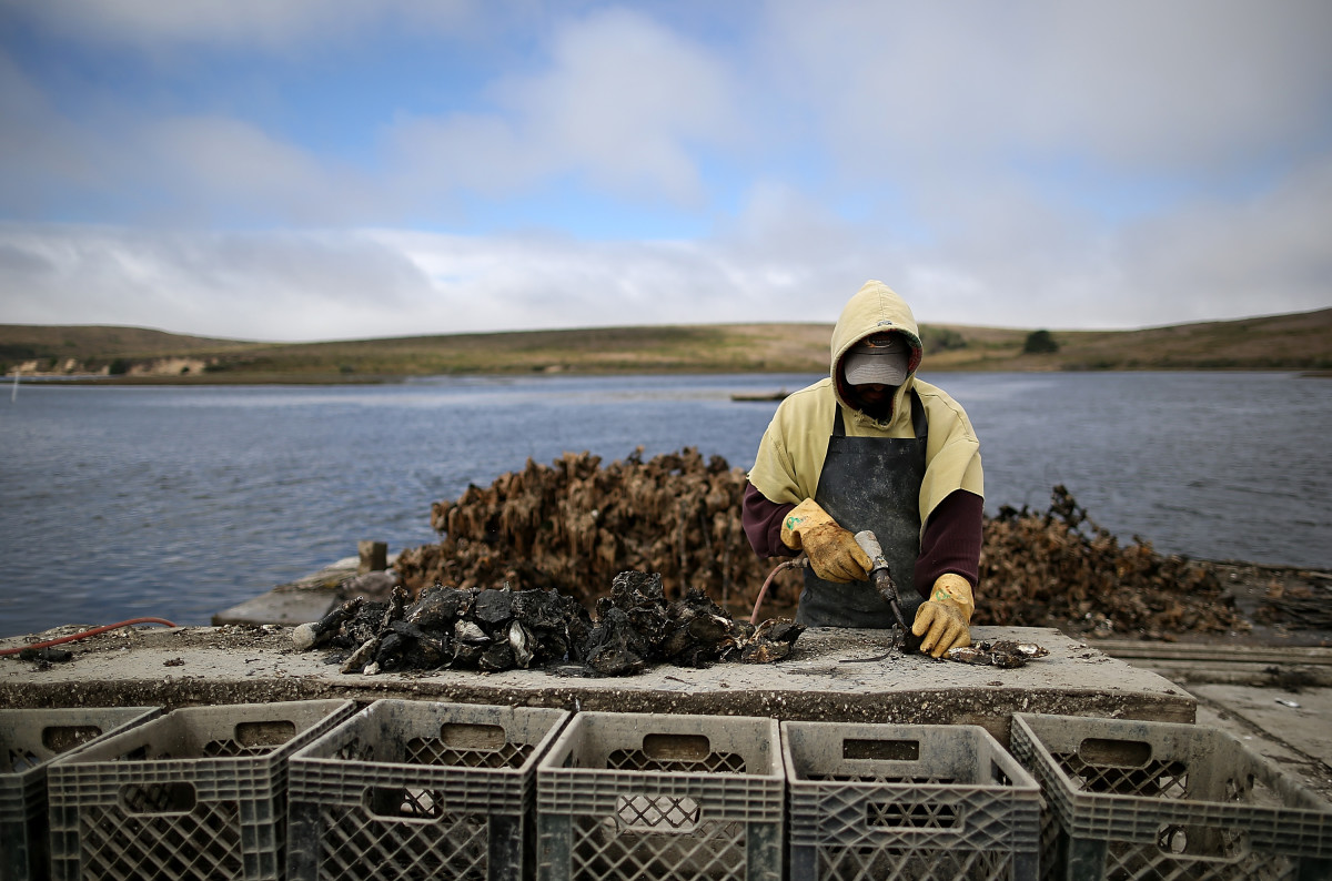 An oyster fisherman uses a power tool to break apart freshly harvested oysters near Point Reyes National Seashore, California.