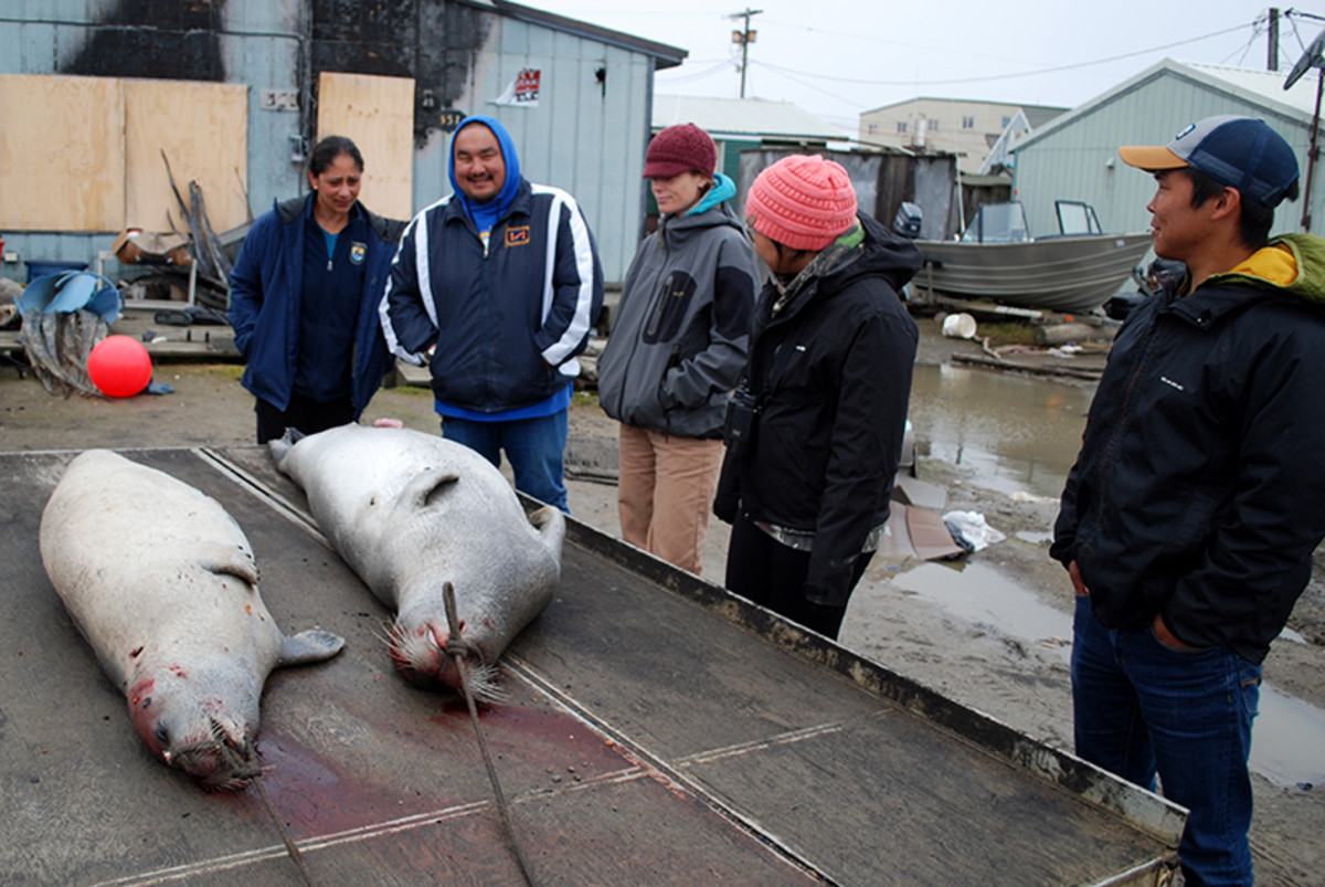 Standing outside a home in Utqiaġvek, Alaska, ANSEP student and U.S. Fish and Wildlife intern Randall Friendly (far right), listens as locals talk about the boat crew that caught these two seals.