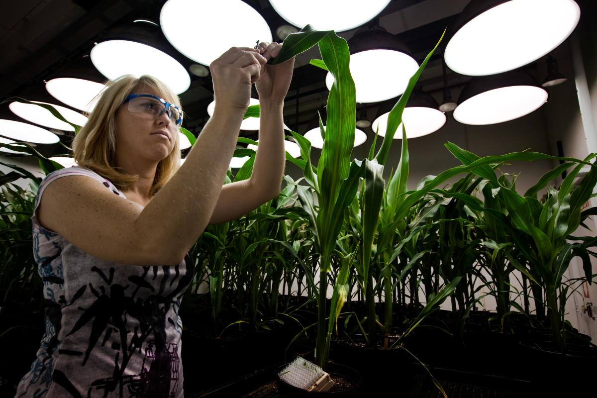 A research biologist takes tissue samples from genetically modified corn plants inside a climate chamber housed in Monsanto agribusiness headquarters in St Louis, Missouri.