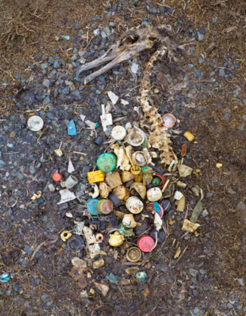 The remains of an albatross lie next to the pieces of plastic it had accidentally consumed.