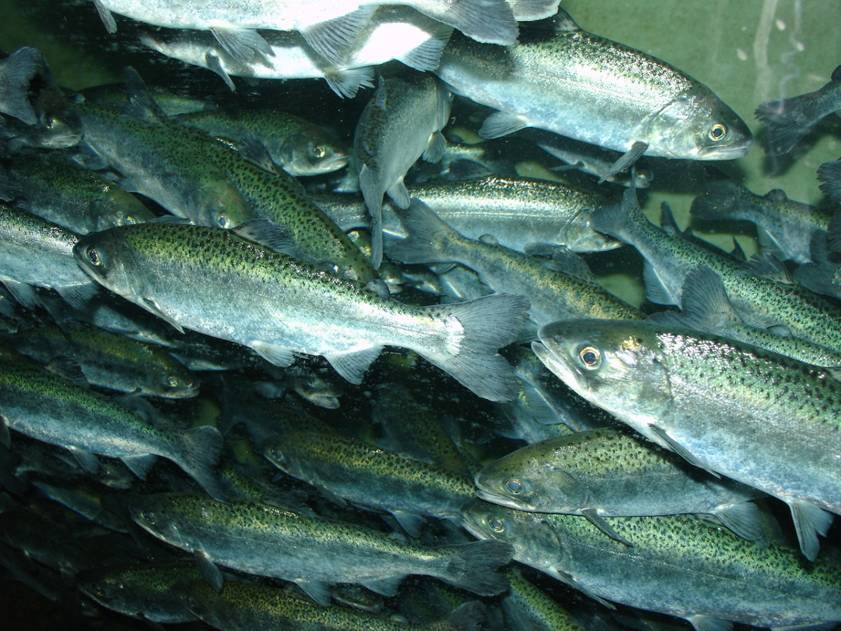 A school of Chinook salmon.