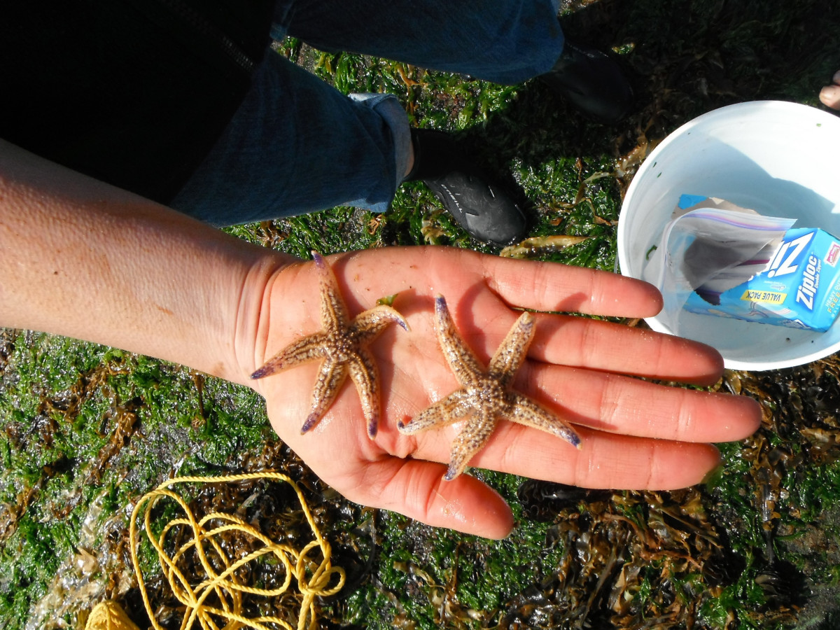These Japanese sea stars arrived in Newport, Oregon, in 2012 aboard a floating fisheries dock.