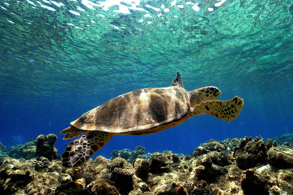 A sea turtle swims in the depth of the Mediterranean sea near Turkey.