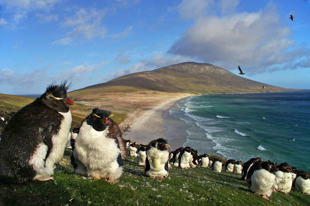 A colony of southern rockhopper penguins on Saunders Island, in the Falkland Islands.